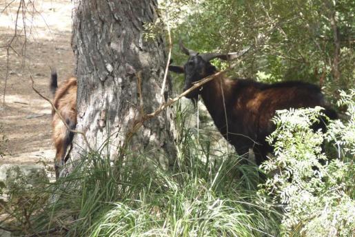 Imagen de archivo de una cabra 'Balear boc' en un coto de caza mayor en Formentor.