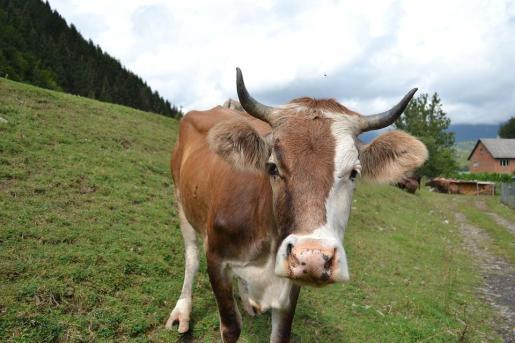 Imagen de archivo de una vaca.