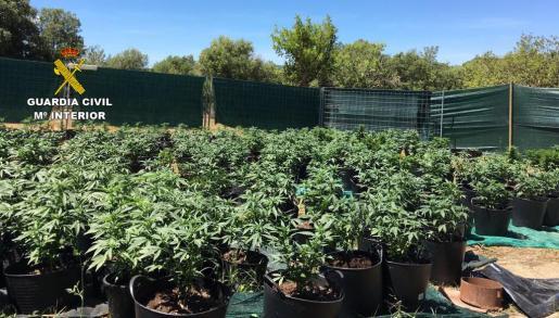 La Guardia Civil ha localizado unas 380 plantas de cannabis en el exterior de una finca en Porreres.