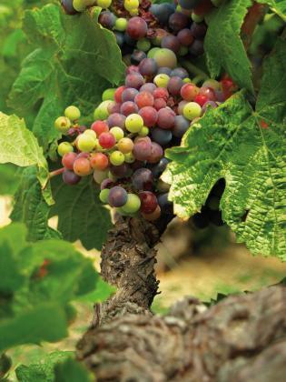 El consejo regulador de la denominación de origen vela por la calidad de los vinos y el respeto a las variedades de uva permitidas.