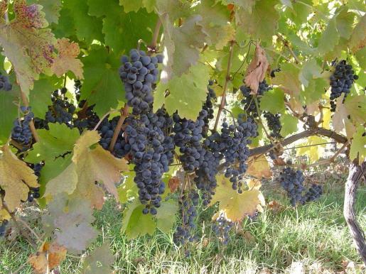 El consejo regulador asegura el cumplimiento de las características de producción de los vinos de la zona.