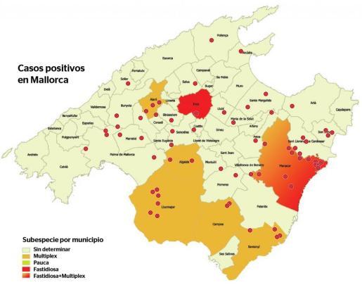 Gráfico sobre los casos de Xylella en Mallorca.