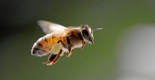 Las abejas son esenciales en la polinización de numerosos alimentos humanos.