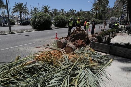 Operarios del Ayuntamiento durante la retirada de la palmera de la carretera