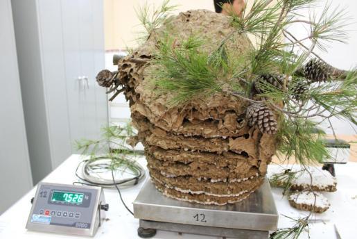 Imagen de uno de los nidos de avispa asiática