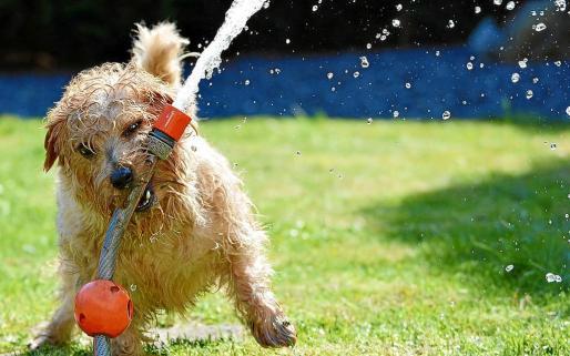 Es esencial que animales como los perros estén bien hidratados. Agradecerán un baño con agua dulce o mojarlo con una manguera.