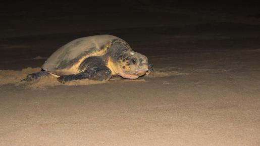 Palma Aquarium recibirá tortugas heridas o enfermas desde Ibiza y Menorca.