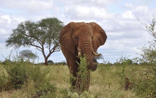 Según testigos, el turista falleció al resultar embestido y corneado por un elefante.