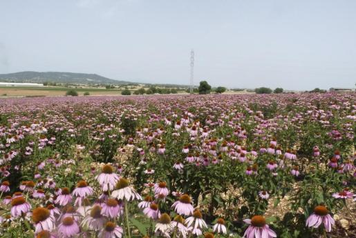 Una de cada tres plantas que existen en Baleares tienen usos medicinales o terapéuticos. En la imagen, una plantación de equináceas, conocidas por su poder para mitigar los resfriados.