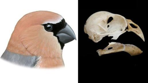 Imagen de los huesos descubiertos y de una recreación de esta ave.