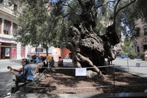 En la imagen, las nuevas medidas de seguridad que velarán por la seguridad de la emblemática olivera de Cort.