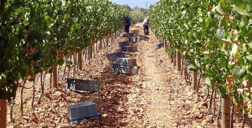Mientras que en Eivissa ya se inició la recolección el pasado 1 de agosto, estos días en diferentes zonas de Mallorca ya se ha comenzado con las variedades blancas ya que presentan óptimos grados de azúcar y acidez
