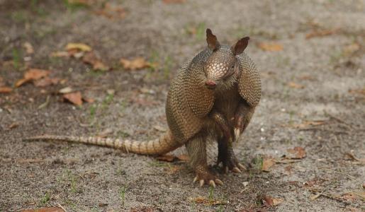El caparazón óseo de los armadillos protege a estos animales de agresiones.