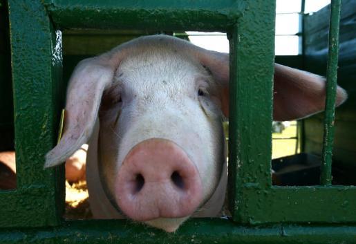 Un cerdo asoma su cabeza a través de una valla.