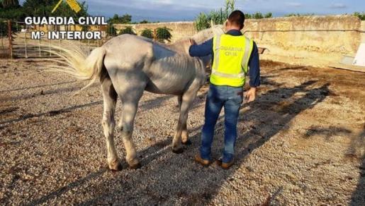 Los agentes se desplazaron al lugar y localizaron al equino desorientado y en un evidente estado de desnutrición y abandono.