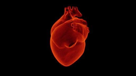 El corazón empieza situado en la línea media del cuerpo pero acaba por colocarse a la izquierda, como el bazo.