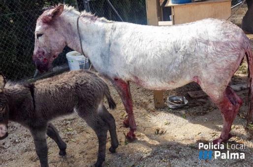 Imagen del burra herida junto a su cría.