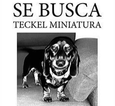 Se busca Teckel miniatura.