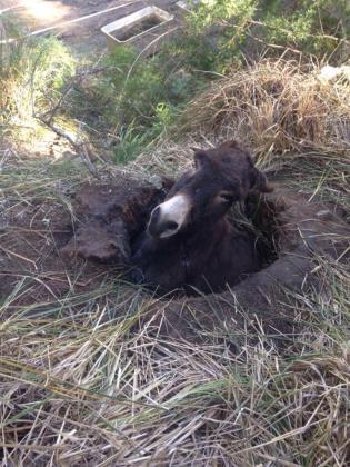 Imagen del burro atrapado en un agujero de la finca de Galatzó.