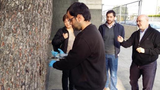 En la actuación de Cort contra la procesionaria en 13 centros escolares y zonas infantiles de parques de la ciudad han sido tratados en total 56 pinos.