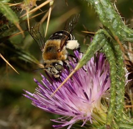 Una ed las imágenes que se encuentra en la página web de los Polinizadores de las Islas Baleares.