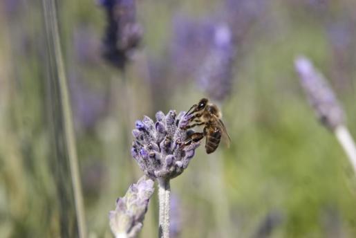 Las abejas que habitan s'Albufera realizan una importante labor de polinización.