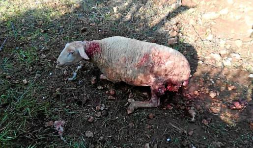Los vecinos afectados muestran a este periódico las ovejas muertas.