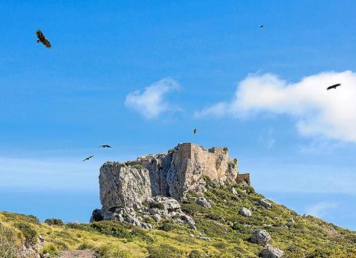 La propiedad recuerda que en enero comienza la época de nidificación y cría de varias de las especies protegidas que tienen su hábitat en Ternelles, entre ellas el buitre negro por lo que considera «conveniente» que exista una supervisión de las visitas siguiendo las recomendaciones de la UIB.