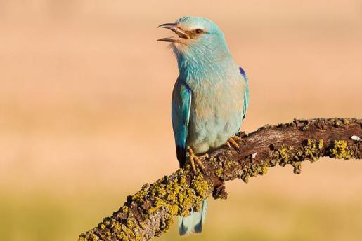 'Aves de Mallorca, dónde y cuándo observarlas' cuenta con un pequeño atlas de distribución de las aves de Mallorca, Cabrera y Dragonera.