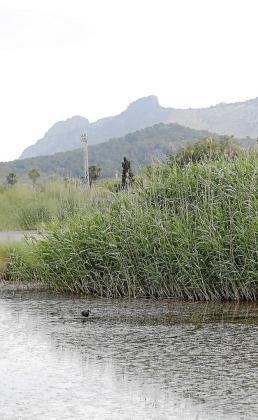 Los humedales son muy ricos en biodiversidad. A causa de la salinización y el vertido de aguas mal depuradas, entre otros factores, la Gran Albufera de Mallorca ha perdido calidad ecológica. La nueva laguna debe contribuir a corregir esta dinámica.