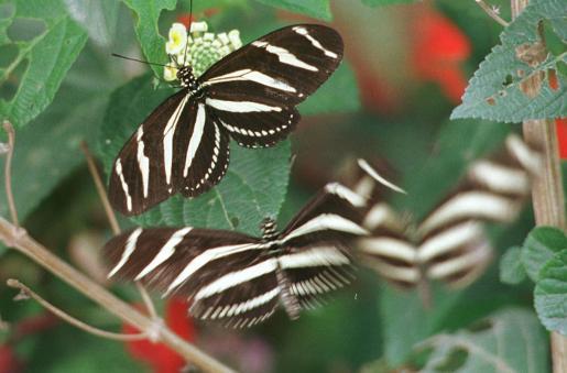 Los insectos también están presentes en el parque, como estas mariposas cebra.
