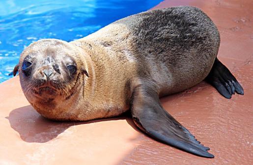 El bebé de león marino de Marineland se llamará Perla, a propuesta de nuestros lectores.