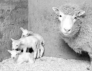 La oveja «Dolly», en la imagen con sus crías, abrió la investigación de la clonación.