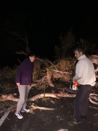 Este es el pino que cayó este jueves por la noche en la carretera de Estellencs a Andratx.