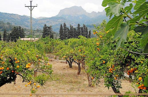 Imagen de archivo de un campo de naranjos en Mallorca.