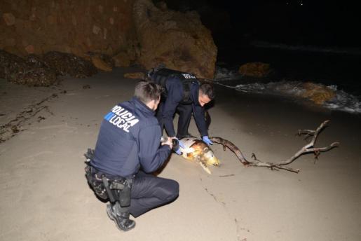 Aparece una tortuga muerta en la playa de Camp de Mar.