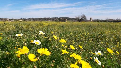 Imagen primaveral del Pla de Mallorca.