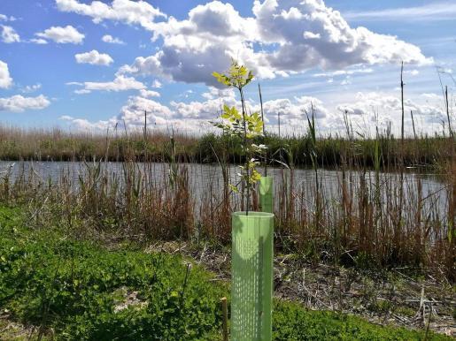 Siembran 6.800 árboles en s'Albufera para recuperar el bosque de ribera.