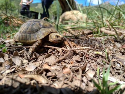 El Cofib han liberado este jueves 57 ejemplares adultos y 133 juveniles de la especie de tortuga 'Testudo graeca' en la finca de Galatzó.