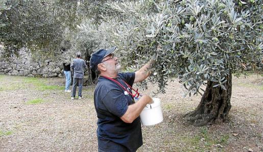 Estos días se recogen en los olivares de la Vall las primeras aceitunas destinadas a 'trencar'. Company se sumó a las labores a título personal.