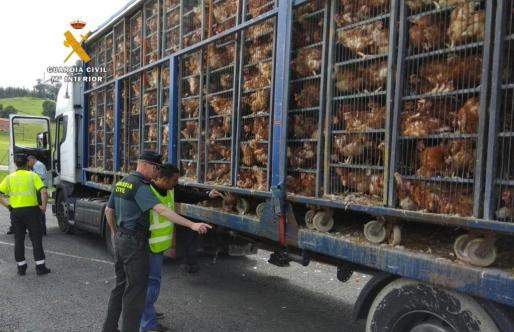 Fotografía facilitada por el Servicio de Protección de la Naturaleza (Seprona) de la Guardia Civil de Cantabria que investiga a un hombre, de 45 años, como presunto autor de un delito de maltrato animal, al transportar 8.000 gallinas en un camión en unas condiciones que no cumplían las medidas higiénico sanitarias.