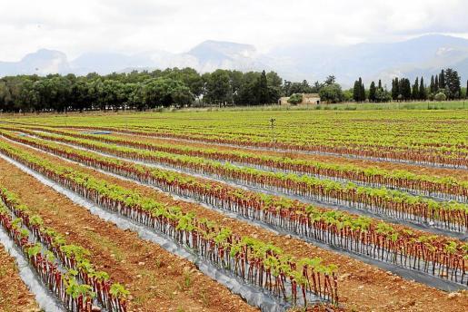 En el campo de crecimiento de viña de Biniagual, creado hace ahora un año en el 'llogaret' de Binissalem, crecen en estos momentos 350.000 plantas de viña de variedades autóctonas. Los expertos estiman que sobrevivirán un 60 por ciento de los injertos.