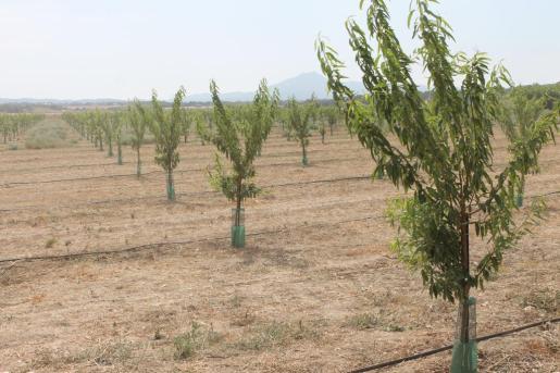 En el Instituto de Investigación y Formación Agraria y Pesquera hay muestras de 75 variedades locales diferentes de almendro y 55 de algarrobo.