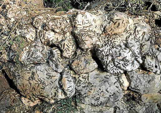 Las marabuntas de oruga peluda son parte de su comportamiento cíclico. Cada 10 o 15 años tienen lugar estas plagas, que duran de 3 a 5 años para volver después al nivel normal de población.