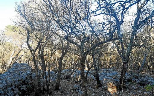 Panorama desolador de encinas defoliadas por la oruga entre Esporles y Valldemossa.