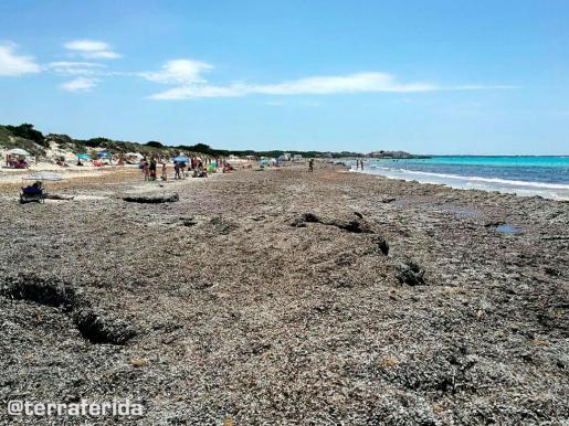 Posidonia en la playa de sa Ràpita.