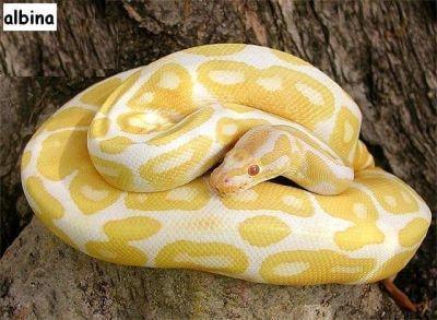 La serpiente pitón albina mide casi un metro.