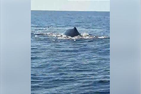 Alertados por sus movimientos ondulantes y sus bufidos, los pescadores se acercaron para contemplar de cerca sus grandes aletas golpeando el agua y fueron capaces de guardar su testimonio en imágenes.