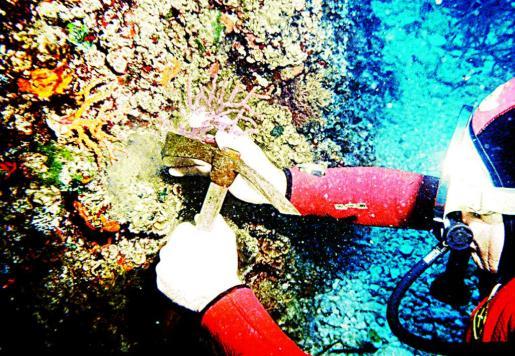 Imagen de archivo de un buceador extrayendo coral rojo.