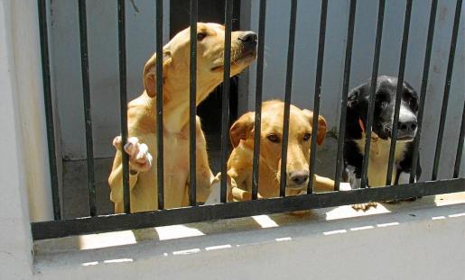 El director de Son Reus resalta la labor que hacen los voluntarios que acuden al centro para cuidar a los perros.